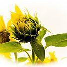 Bud Of A Sunflower by Tina Hailey