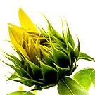 Sunflower Bud  by Tina Hailey
