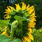 Backside Of A Sunflower by Tina Hailey