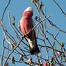 Galah sitting in Magnolia Tree by Bev Pascoe