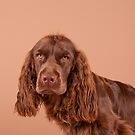 Sussex Spaniel Puppy  by SMiddlebrook
