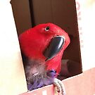 Coco the annoyed Eclectus by lcrescenzo