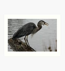 Great Blue Heron Swallowing Fish Art Print