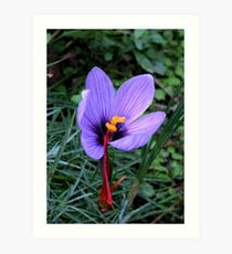 What Flower Am I? Thisis a saffron crocus, solved by RobPixaday and CanDuCreations. Art Print