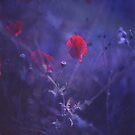 Red poppy in blue - medium format analog Hasselblad film photo by edwardolive