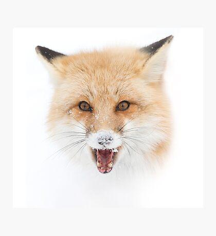 Red Fox snow face  - Algonquin Park Photographic Print