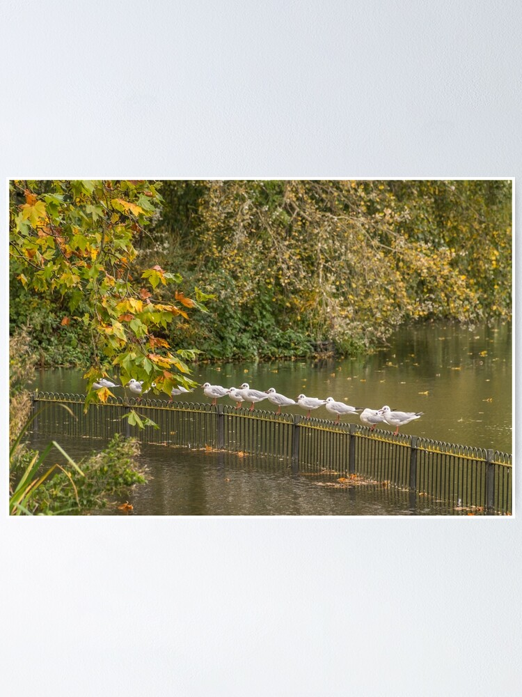 Alternate view of Seagulls on railings Poster