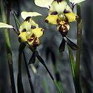 Australian Native Orchids - Little Desert Area, Western Victoria by Bev Pascoe