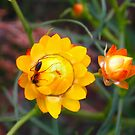 Honey Ant on Native Flowers by Jason Bran-Cinaed
