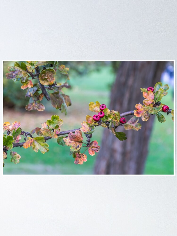 Alternate view of Red berries on a tree branch  Poster