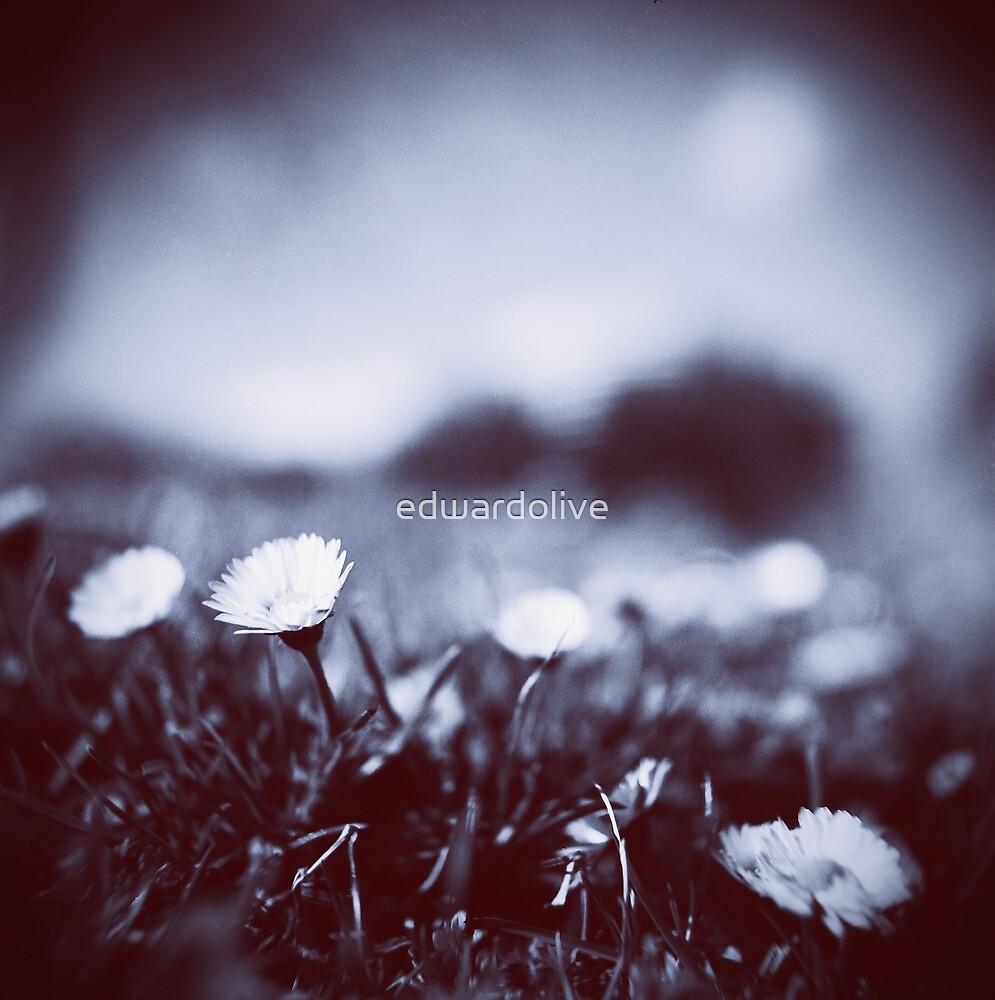 Daisies on lawn blue closeup macro bokeh square Hasselblad medium format film analog photo by edwardolive