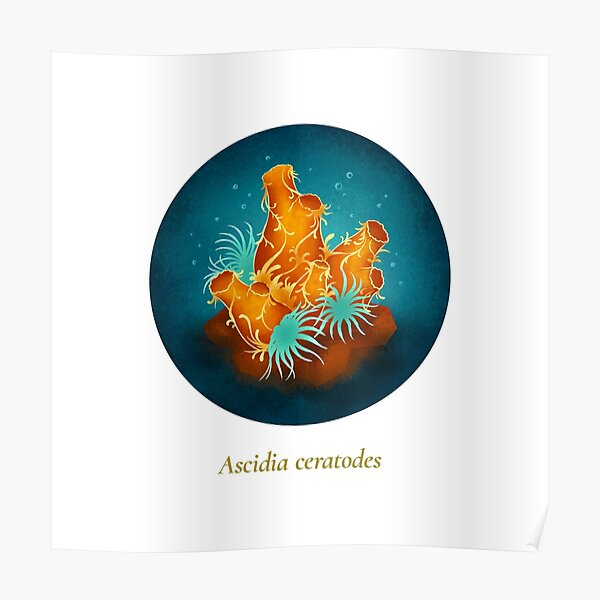 The Circles of Life: Ascidia ceratodes Poster