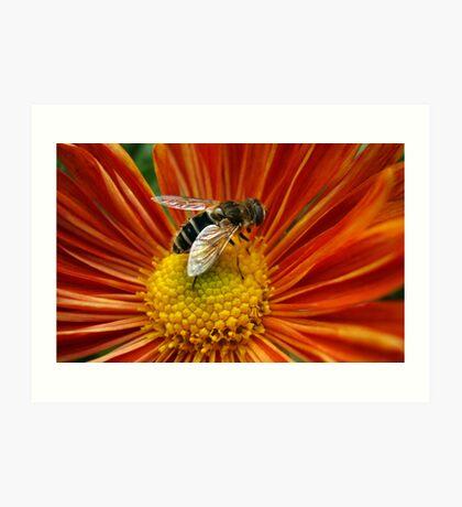 Bee Over Orange  Flower Art Print