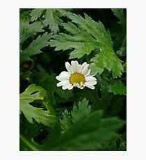 Shy Daisy Photographic Print