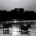 A Botswana Zebra Sunset in Black and White by Kay Brewer