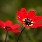 Anemone I by Catherine Dipper