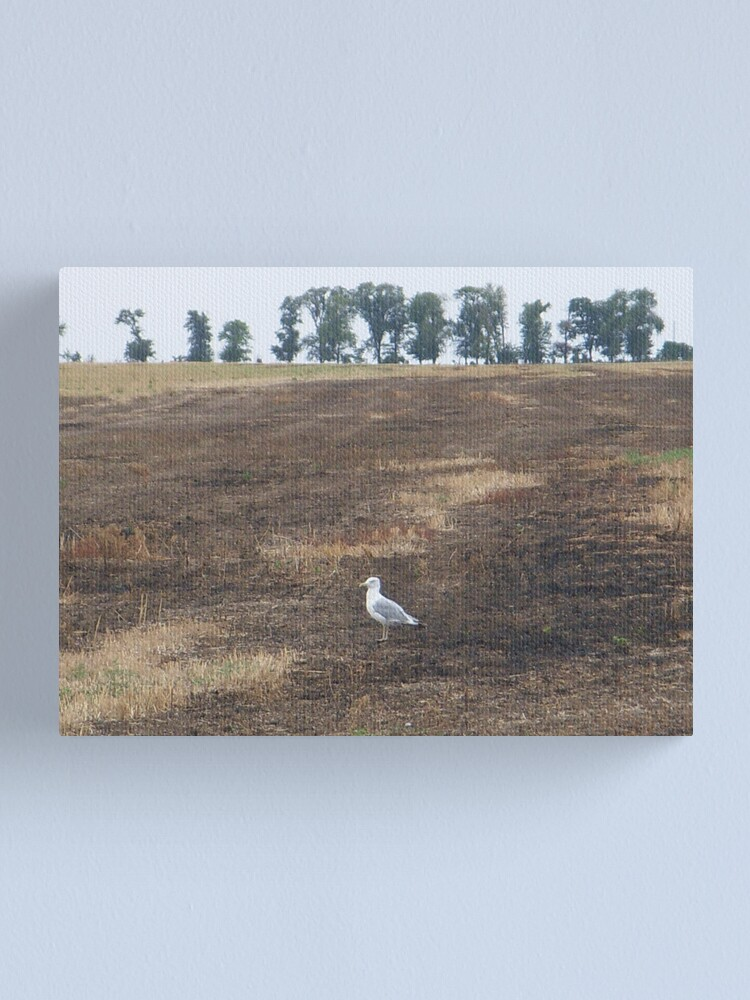 Alternate view of What are you doing in the middle of the field, seagull? - I could ask you the same thing! Canvas Print