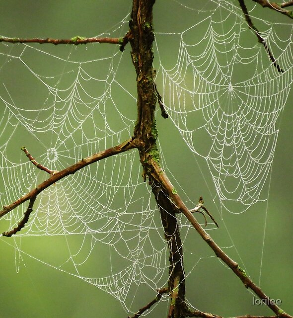 Double Webs  by lorilee