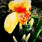 Jamaican Garden Yellow Canna by likedandelion