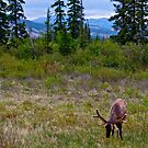 Elk in Jasper, Alberta by Jessica Chirino Karran