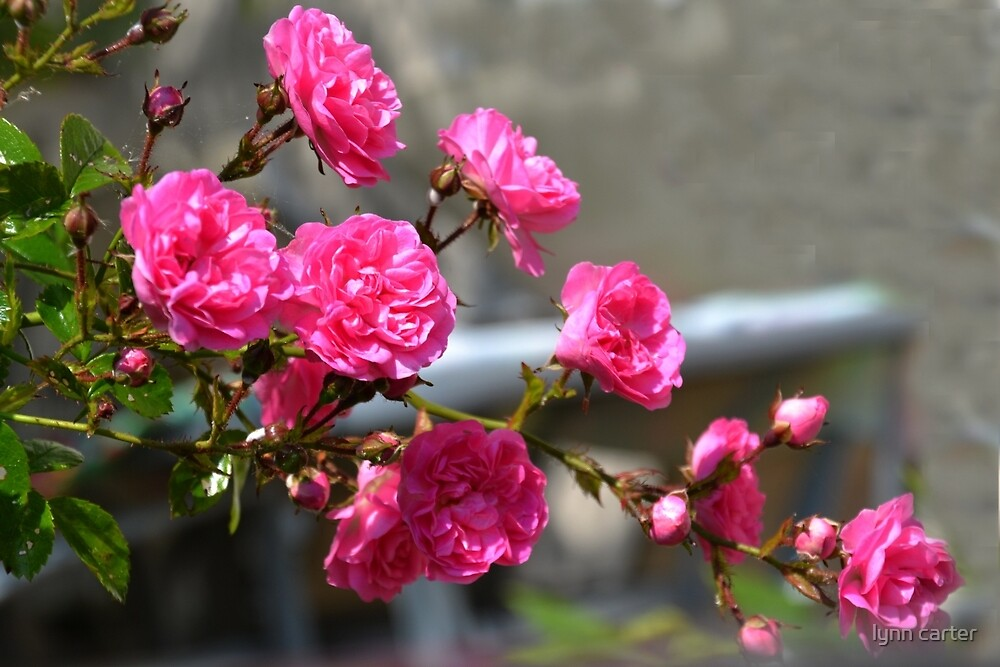 Minnehaha Roses by lynn carter