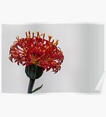Red Macro Flower Poster