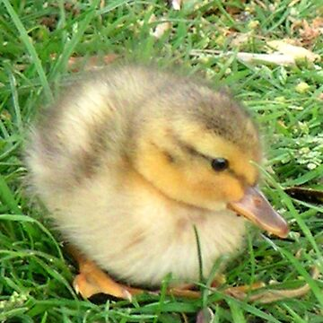 Little Duckling  by patjila