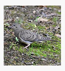 Mourning Dove Fledgling  Photographic Print