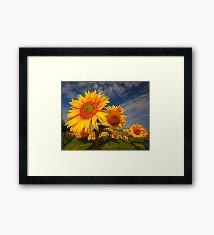 Sunflower morning 2 Framed Print