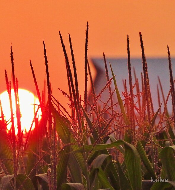 Tall Corn Sunset  by lorilee