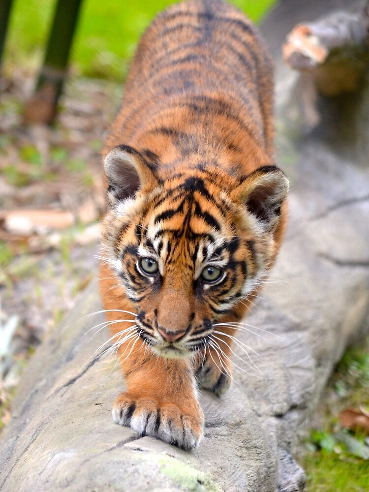 Baby Sumatran Tiger Cub by richardbryce