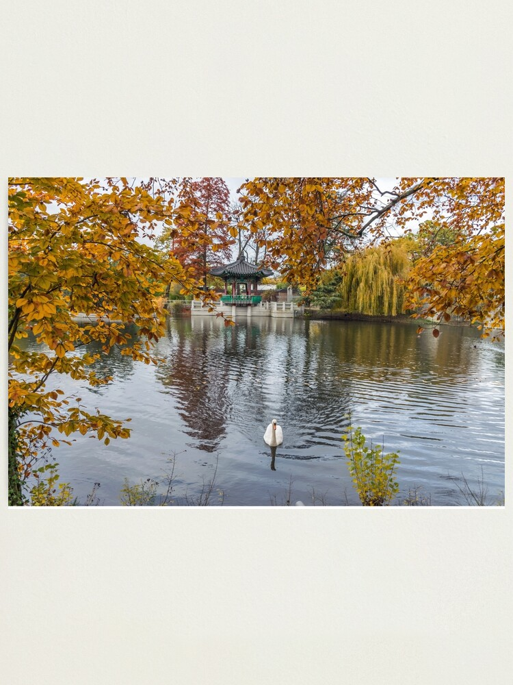 Alternate view of Swan on a pond in autumn Photographic Print