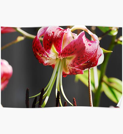 Black Beauty Lily  Poster