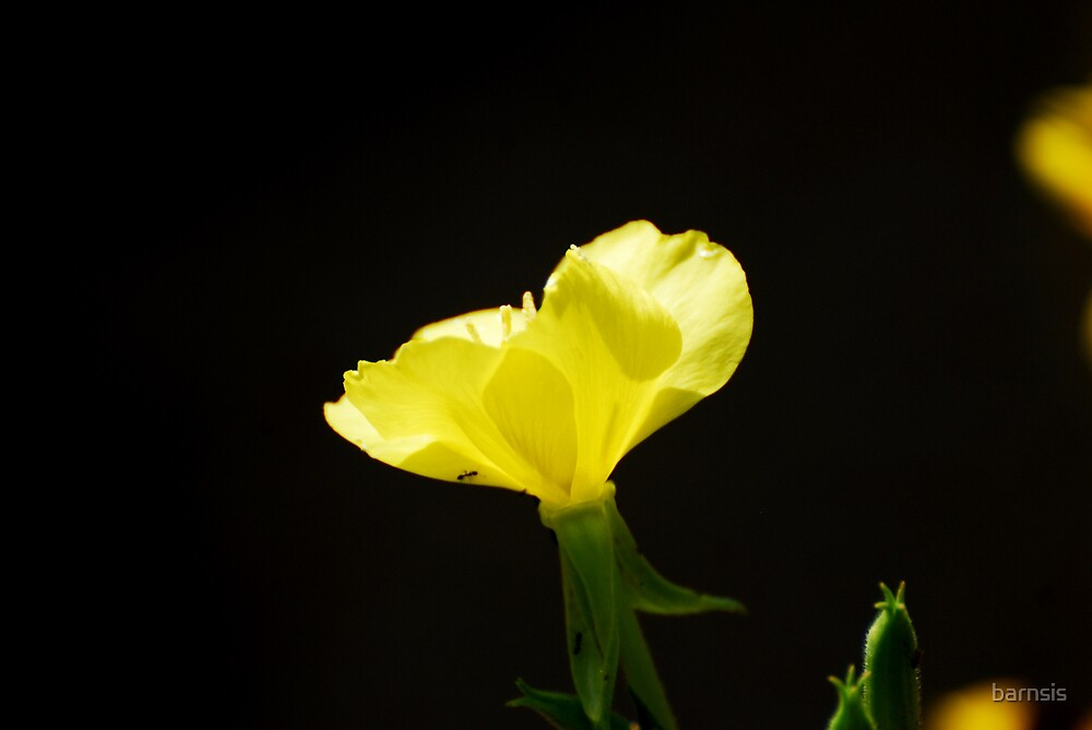 Yellow Wild Flower by barnsis
