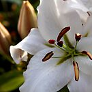 summer lilly ... by SNAPPYDAVE