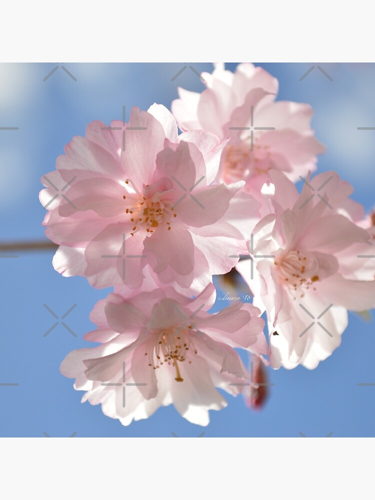 Cherry Blossom Photograph by c-demarco
