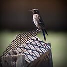 Bird on Perch by psnoonan