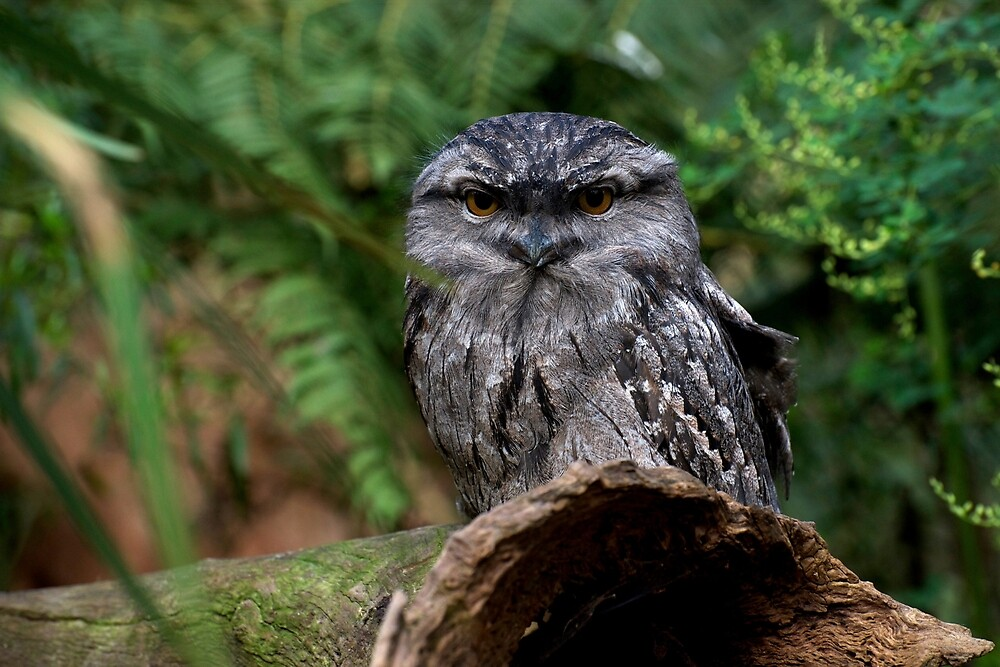 Tawny Frogmouth by GP1746