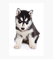 Husky Puppy Photographic Print