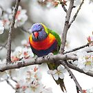 Rainbow Lorikeet in the Almond Blossom a by Seesee