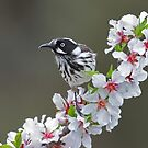 Honeyeater in the Blossoms by Seesee