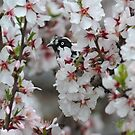 New holland Honeyeater amoung the Almond Blossoms by Seesee