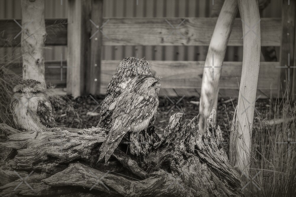 Tawny Frogmouth Owls by Elaine Teague