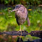 Black-crowned night heron just hanging out by TJ Baccari Photography