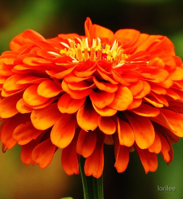 Simply Zinnia  by lorilee