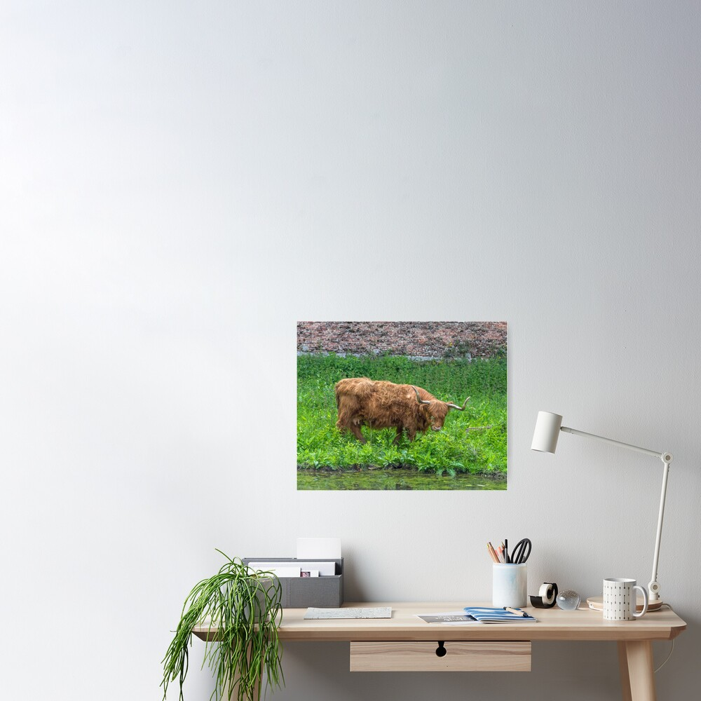 A cute Highland Cow Poster