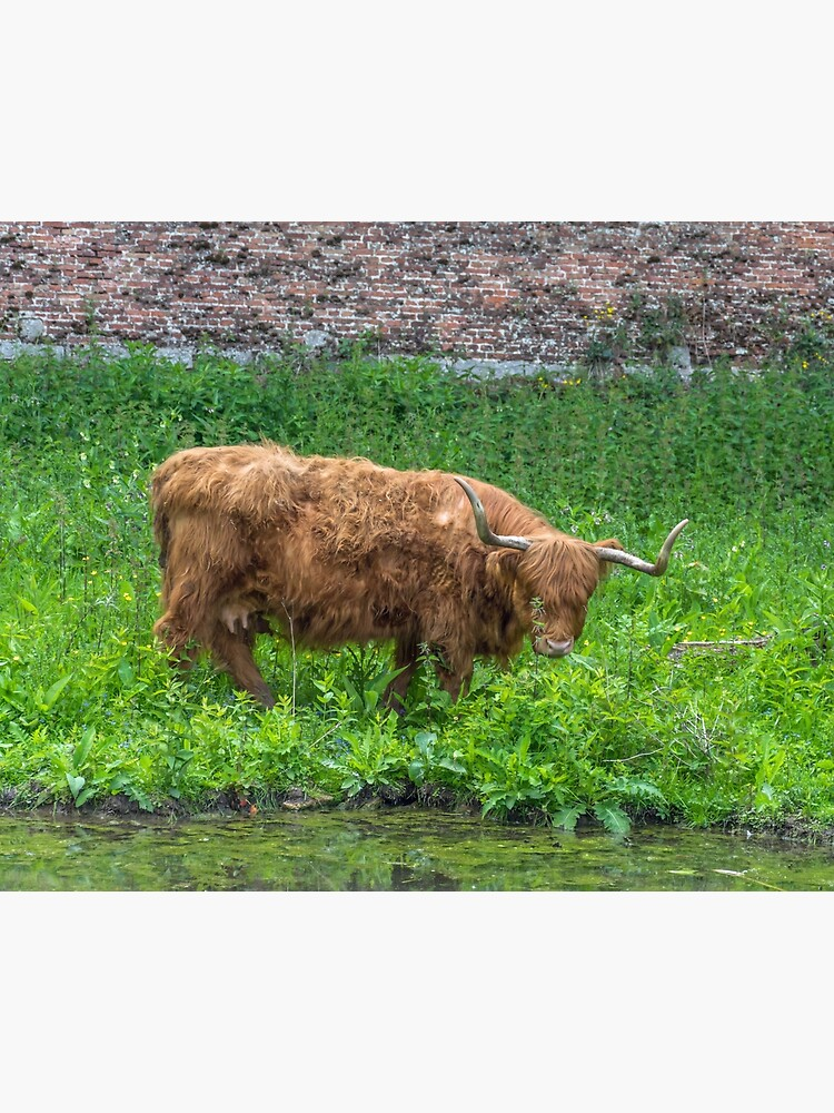 A cute Highland Cow by tdphotogifts