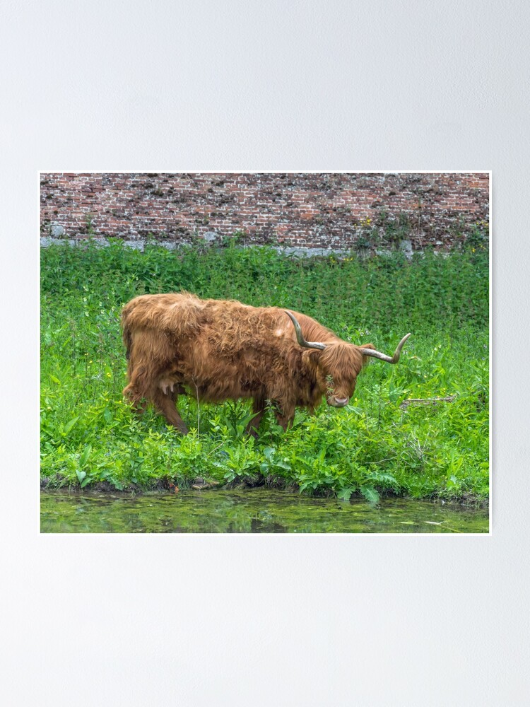 Alternate view of A cute Highland Cow Poster