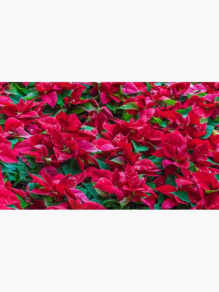 A sea of poinsettias  by tdphotogifts