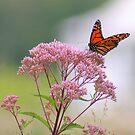 Butterfly  by RockyWalley